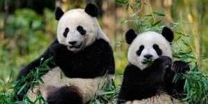 loire et cher attractions zoo beauval pandas